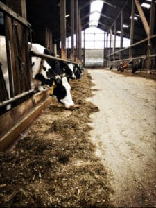 Landvergnügen Blick in den Kuhstall